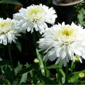 сажать леукантемум и особенности его выращивания из семян