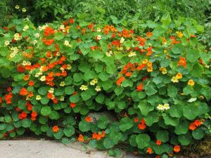 Когда сажать настурцию и особенности ее выращивания из семян