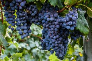 Можно ли сажать рядом разные сорта винограда