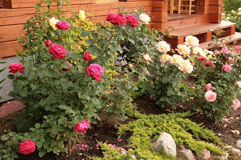 Где лучше посадить розы на участке