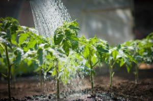 Что можно поливать дрожжами на даче и для чего они используюся