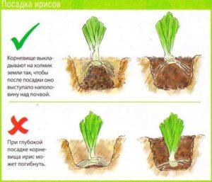 Как правильно сажать ирисы в открытый грунт