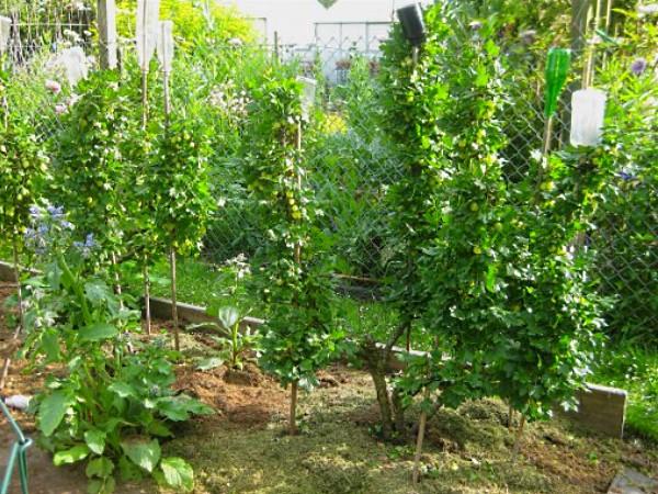 Клубника уход после плодоношения можно ли сажать после картошки 100