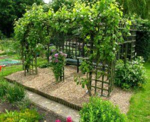 Сажать виноград на участке