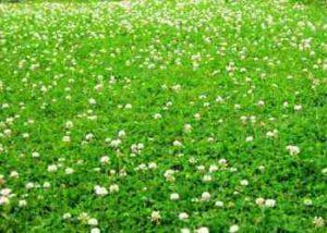 Сажать белый клевер для газона