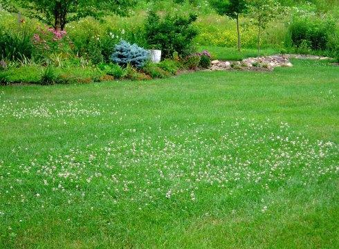 Клевер белый ползучий: посадка и уход, выращивание и