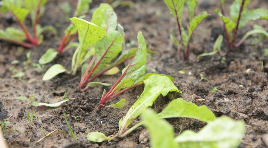 Можно ли рассадой сажать репу 92