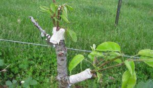 Прививать деревья