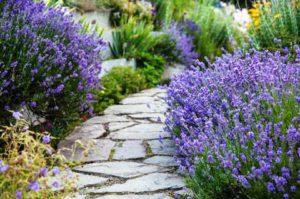 Как посадить лаванду на даче и ухаживать за ней
