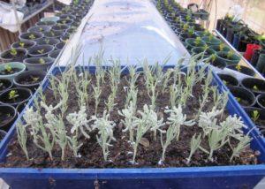 Как посадить лаванду на даче