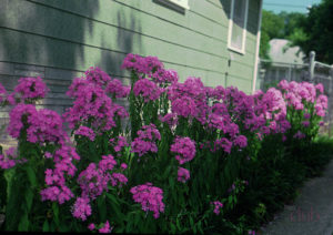 Флоксы сажают весной, летом и осенью.