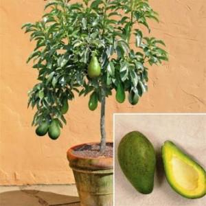 Как правильно сажать авокадо из косточки