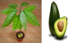 сажать авокадо из косточки