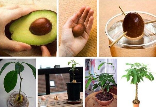 Как садить авокадо в домашних условиях