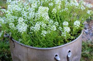 лобулярию и особенности ее выращивания из семян