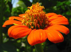 Титония: выращивание из семян, каким способом и когда ее сажать