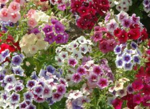 Когда сажать флокс Друммонда и особенности его выращивания из семян