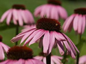 эхинацея особенности ее выращивания из семян