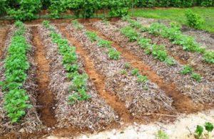 Сроки высадки ценного корнеплода