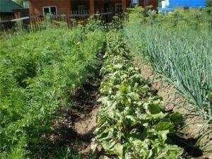 Можно ли на огороде сажать помидоры после капусты