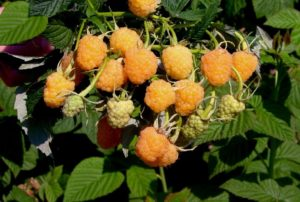 Можно ли рядом сажать разные сорта малины