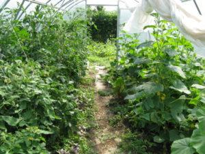 Можно ли сажать баклажаны рядом с помидорами на одной грядке