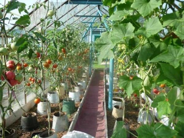 Можно ли сажать баклажаны с помидорами в теплице 506