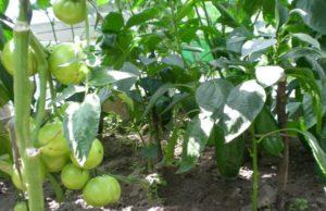 баклажаны рядом с помидорами на одной грядке