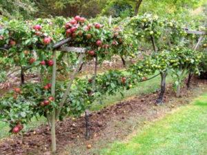 Можно ли сажать грушу рядом с яблоней на даче