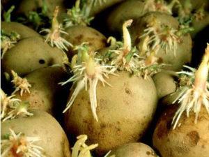 Можно ли сажать картофель с длинными ростками