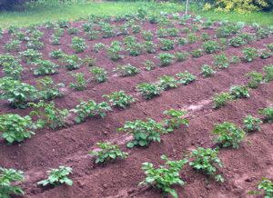 сажать лук после картофеля