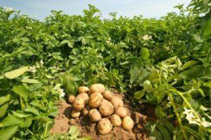 Можно ли высаживать лук после картофеля