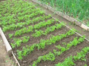 сажать лук после моркови