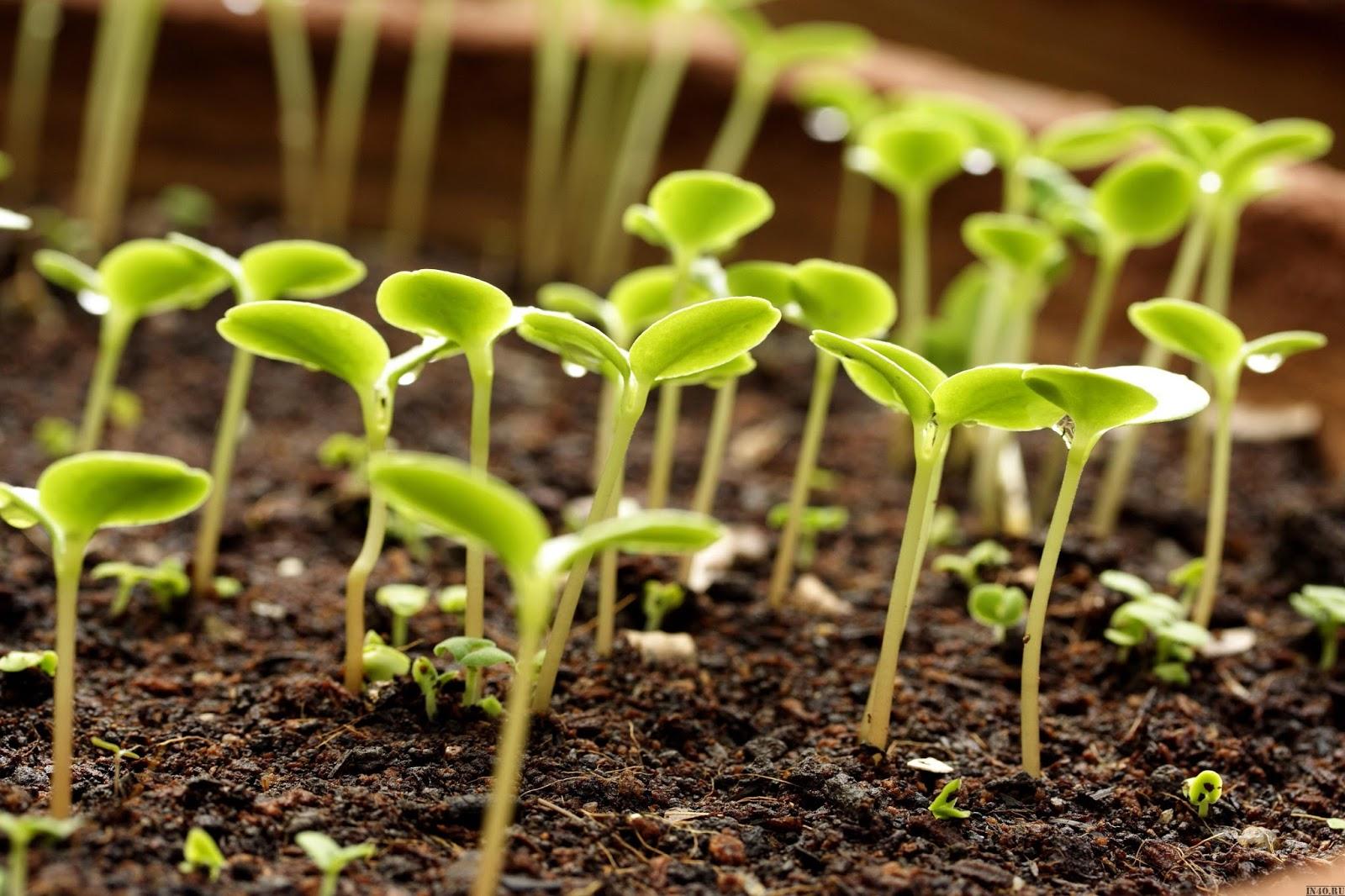 Когда сажать овощи. Сроки посадки семян основных 47