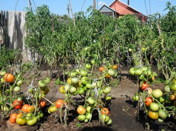 Можно ли сажать помидоры с луком 379