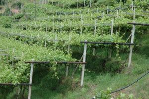 Сколько кустов надо иметь в винограднике