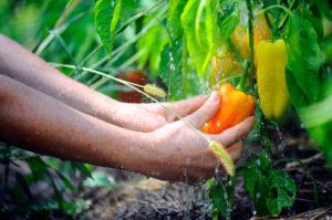 После каких культур можно посадить перец