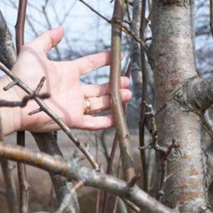Инструкция по обрезке груш осенью для начинающих