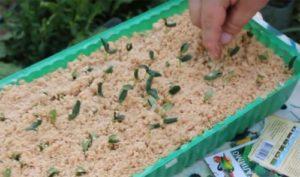 Каковы особенности посадки и выращивания огурцов в опилках