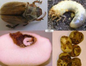 бороться с личинками майского жука