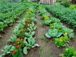 правильное соседство растений на участке