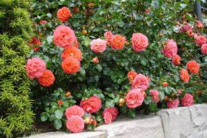 Выбираем сорта роз для средней полосы