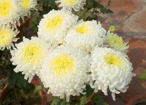 Как вырастить хризантему из черенка: способы укоренить цветок из букета
