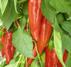 Как вырастить огурцы и перец на своем балконе
