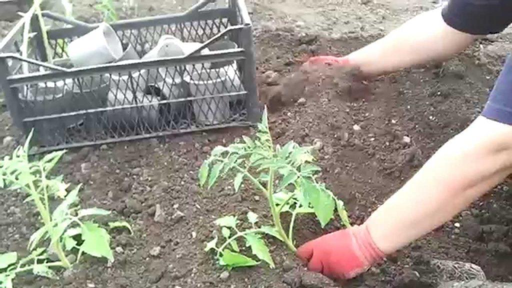 можно ли скручивать рассаду огурцов при посадке