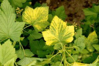 у смородины желтеют листья